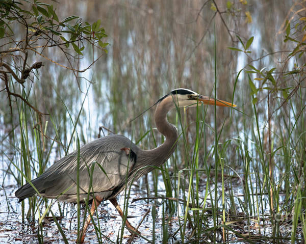 Photograph - Salt Marsh Blue Heron by Dale Powell