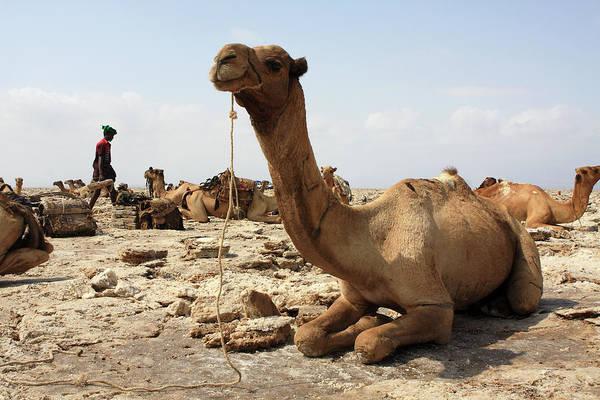 Photograph - Salt Miners Camel  by Aidan Moran
