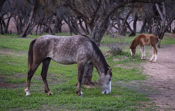 Photograph - Salt River Horses In The Desert by Dave Dilli