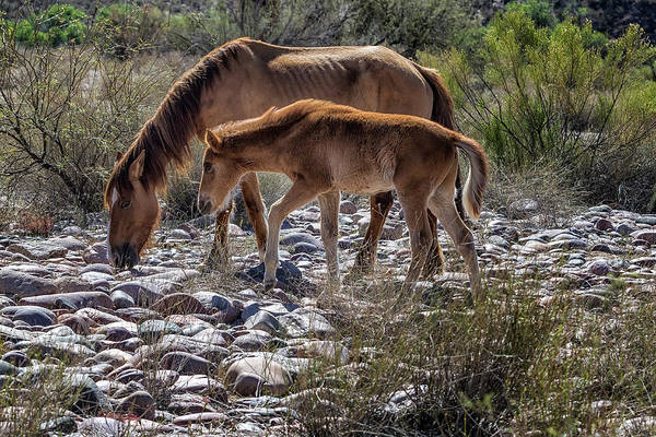 Photograph - Salt River Mare And Her Colt, No. 2 by Belinda Greb