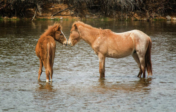 Photograph - Salt River Wild Horses 3017-032118-1cr by Tam Ryan