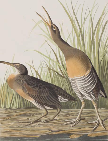 Marsh Bird Painting - Salt Water Marsh Hen by John James Audubon