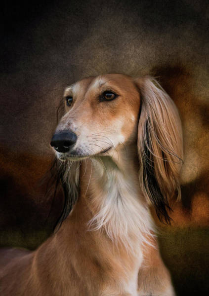 Photograph - Saluki by Diana Andersen
