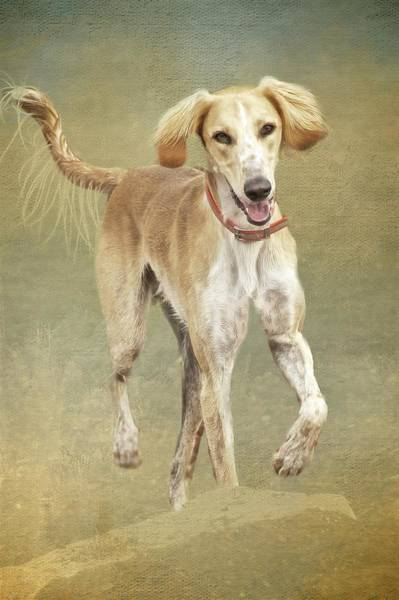 Photograph - Saluki Grace by Flying Z Photography by Zayne Diamond