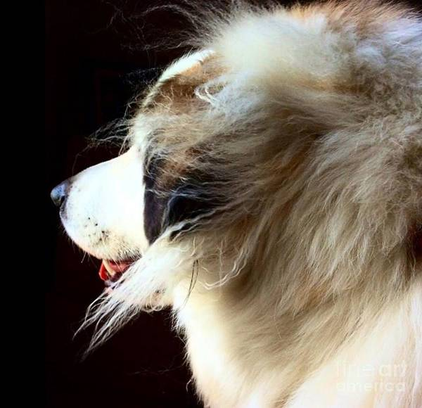 Great Pyrenees Photograph - Sam In Shadow by Sugar Mountain Studio