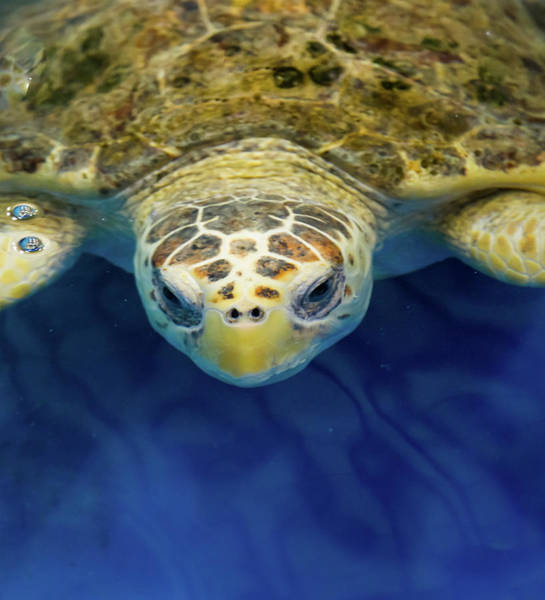 Wall Art - Photograph - Sammy The Sea Turtle by Karen Wiles