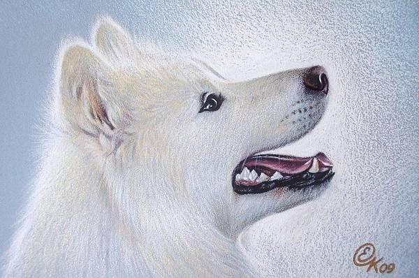 Samoyed Art Print
