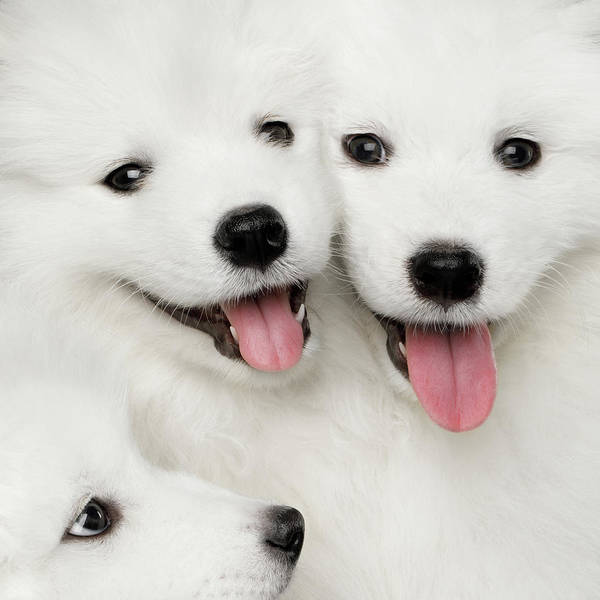 Photograph - Samoyed Puppies by Sergey Taran
