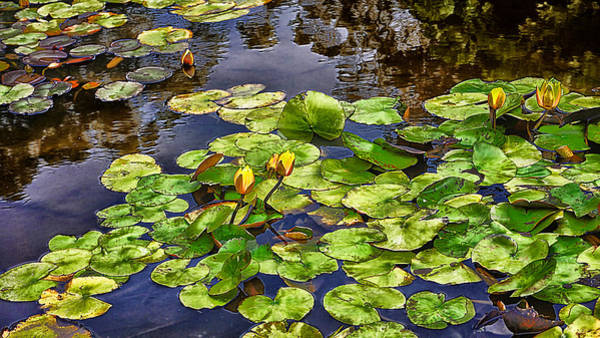 Photograph - San Francisco Waterlilies by Beth Akerman