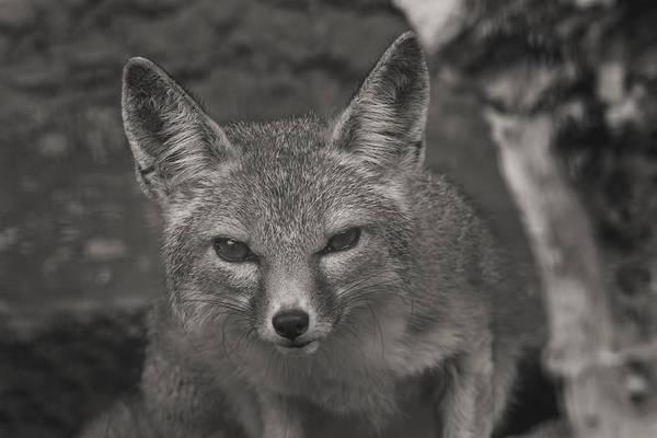 Photograph - San Joaquin Kit Fox  by Brian Cross