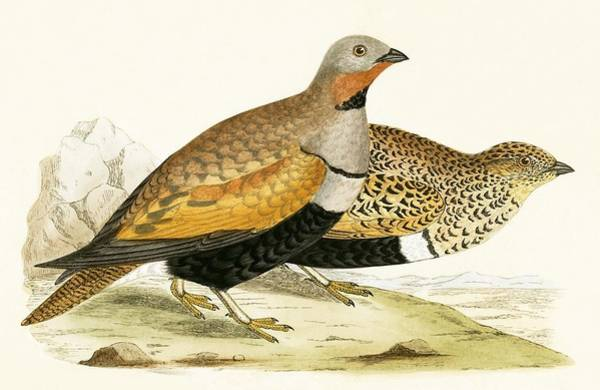 Ornithological Wall Art - Painting - Sand Grouse by English School
