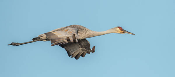 Wall Art - Photograph - Sand Hill Crane Side View by Paul Freidlund