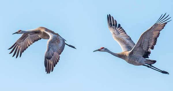 Wall Art - Photograph - Sand Hill Cranes Flying by Paul Freidlund