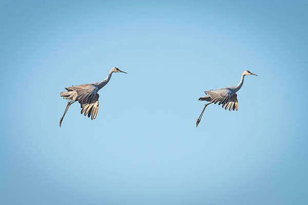 Wall Art - Photograph - Sand Hill Cranes Gliding In For Landing by Paul Freidlund