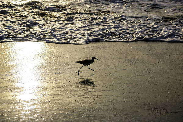 Photograph - Sand Piper Dash by T A Davies