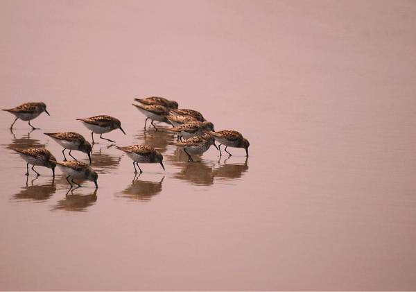 Wall Art - Photograph - Sand Pipers Dance by Laura Mountainspring