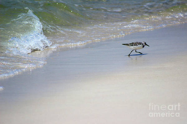 Photograph - Sanderling And Wave Playing Tag by Karen Adams
