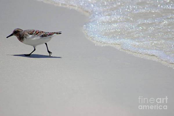Photograph - Sanderling Bird 2016 by Karen Adams