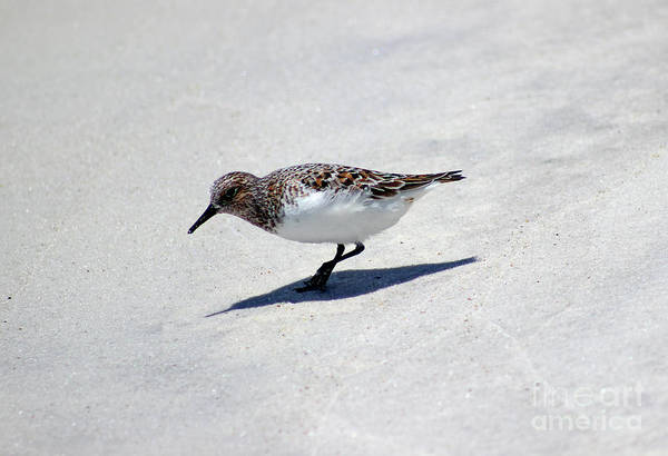 Photograph - Sanderling Bird On The Florida Shore by Karen Adams