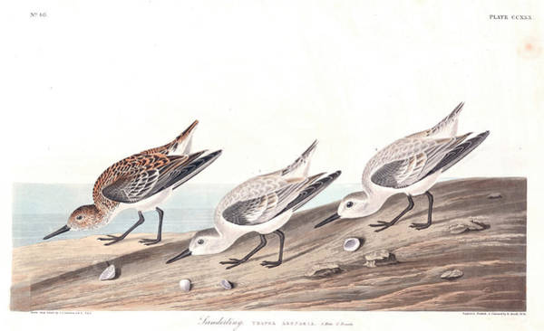 Wall Art - Painting - Sanderling by John James Audubon