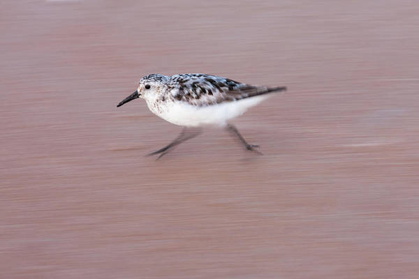 Photograph - Sanderling On The Run by Paul Rebmann