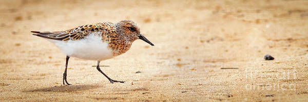 Wall Art - Photograph - Sanderling Pano by Todd Bielby