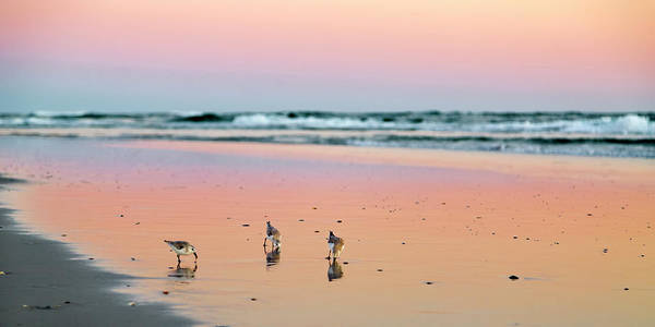 Two Birds Photograph - Sanderling Sunset Topsail Island by Betsy Knapp
