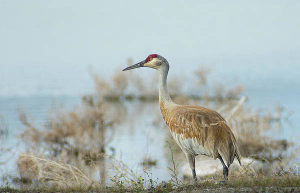 Photograph - Sandhill Crane 1 by Rick Mosher