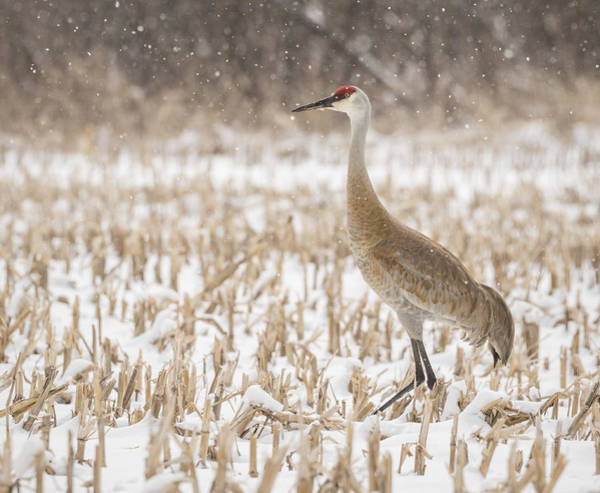 Photograph - Sandhill Crane 2016-3 by Thomas Young