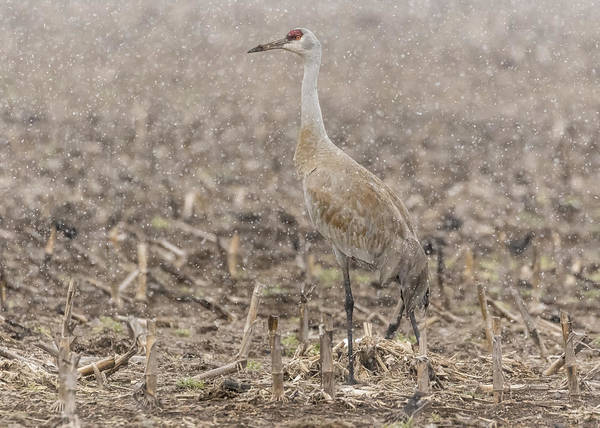 Photograph - Sandhill Crane 2016-2 by Thomas Young