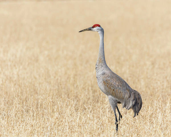 Photograph - Sandhill Crane 2018-1 by Thomas Young