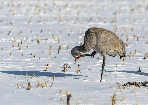 Photograph - Sandhill Crane 2018-3 by Thomas Young