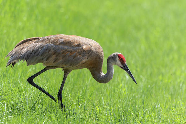 Photograph - Sandhill Crane 2018-4 by Thomas Young