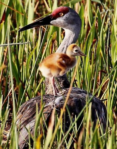 Photograph - Sandhill Crane And Colt by Ira Runyan