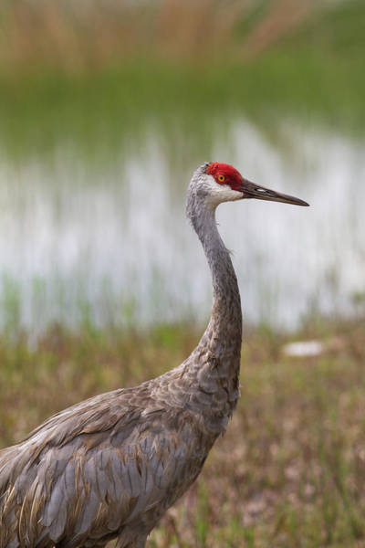 Photograph - Sandhill Crane At Clearwater Lake #2 by Paul Rebmann