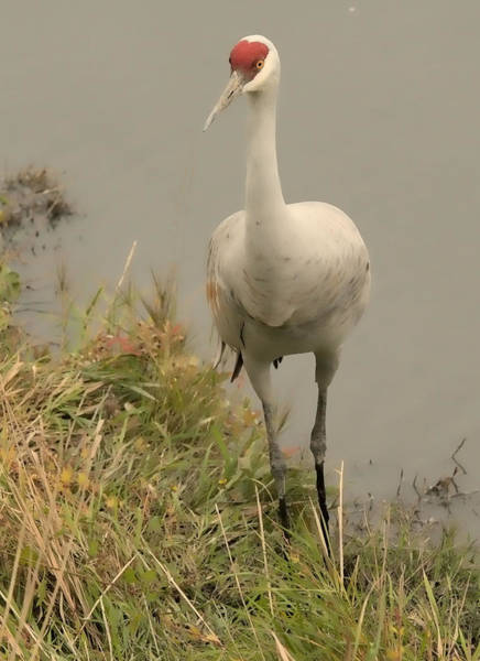 Photograph - Sandhill Crane At Reifel by Lawrence Christopher