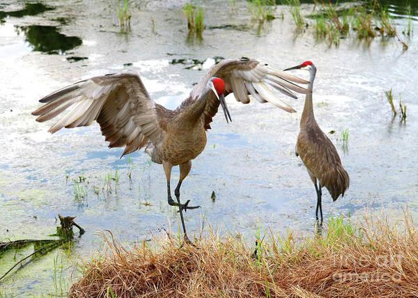 Photograph - Sandhill Crane Courtship Dance 21 by Carol Groenen