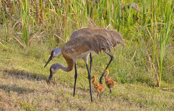 Photograph - Sandhill Crane Family by Bill Hosford