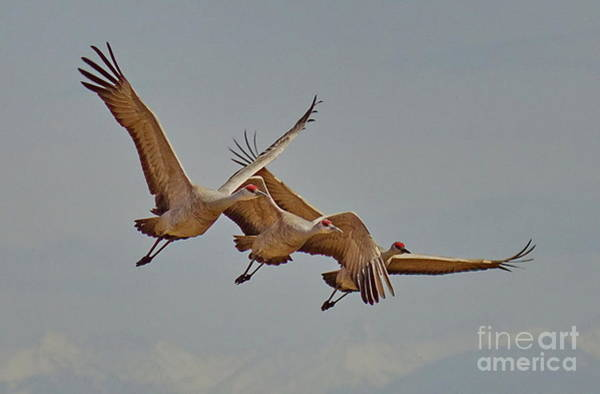 Wall Art - Photograph - Sandhill Crane Family by Tom Cheatham