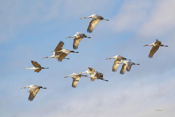 Photograph - Sandhill Crane Flight by Judi Dressler