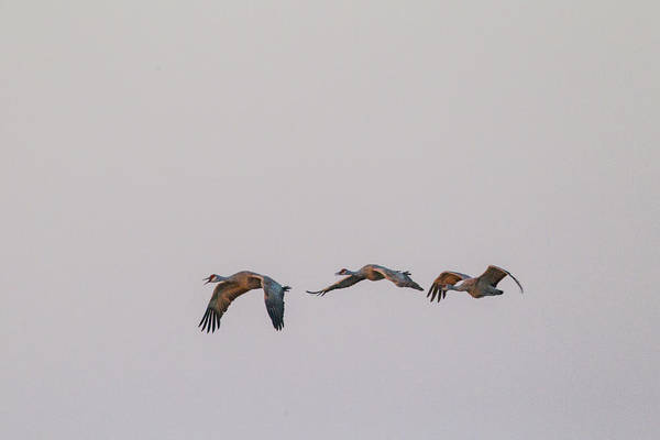 Photograph - Sandhill Crane Flying 2 by Kathy Adams Clark