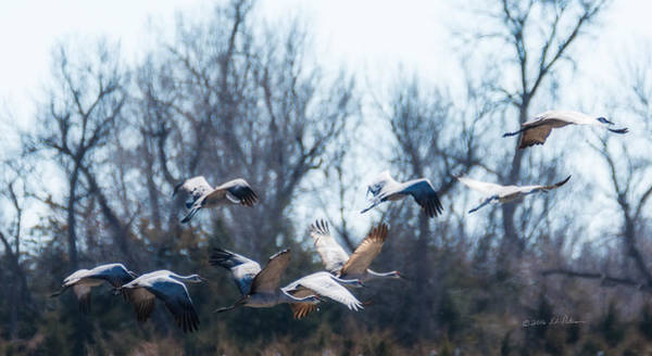 Photograph - Sandhill Crane In Flight by Edward Peterson