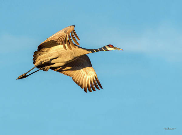 Photograph - Sandhill Crane In Flight by Judi Dressler