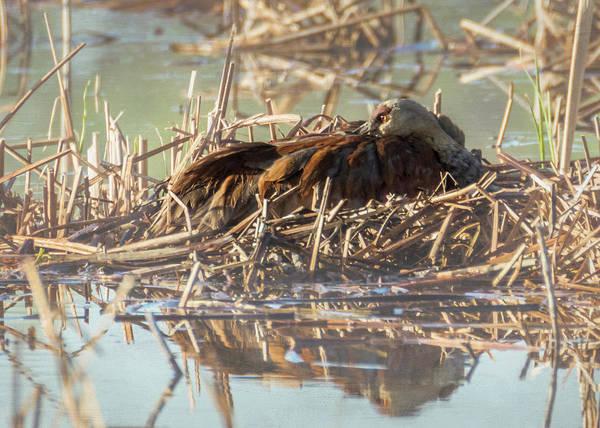 Photograph - Sandhill Crane - Nesting #1 by Patti Deters