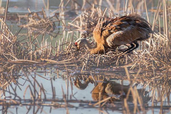 Photograph - Sandhill Crane - Nesting #2 by Patti Deters