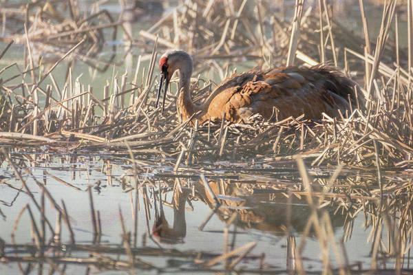 Photograph - Sandhill Crane - Nesting #3 by Patti Deters