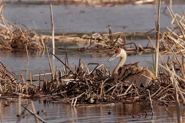 Photograph - Sandhill Crane - Nesting #4 by Patti Deters