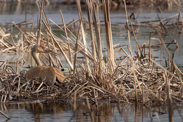 Photograph - Sandhill Crane - Nesting #6 by Patti Deters