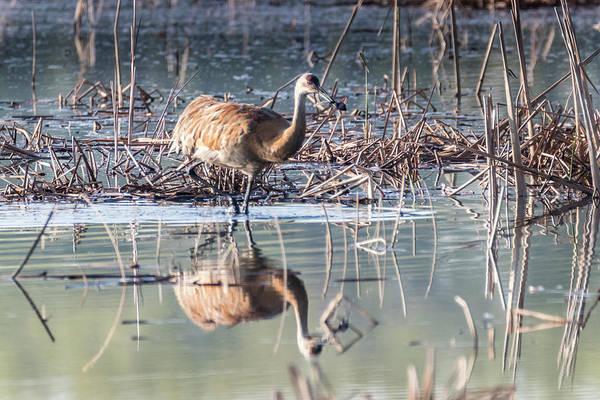 Photograph - Sandhill Crane - Nesting #7 by Patti Deters