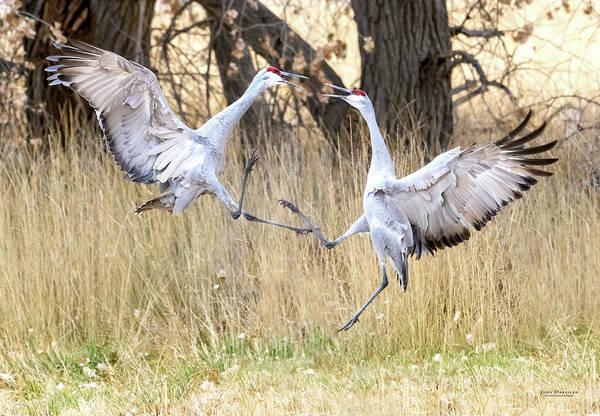 Photograph - Sandhill Crane Black Belts by Judi Dressler